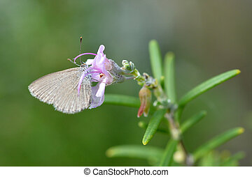 Pieris rapae small cabbage white butterfly
