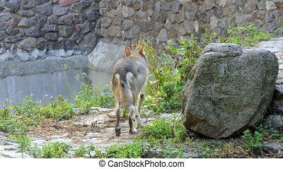 pierre, autour de, grand, regarder, loup, intelligent