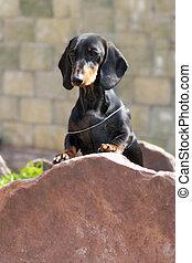 pierre debout, allemand, chevelure, chien, pieds, teckel