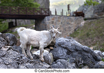 pierres, blanc, jeune, chèvre