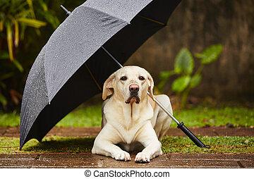 pies, deszcz