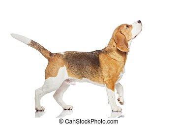 pies gończy, biały pies, tło, odizolowany