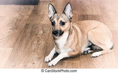 pies, leżący, podłoga
