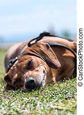 pies, leżący, szczęśliwy, w, przedimek określony przed rzeczownikami, trawa, z, niejaki, uśmiech, na, jego, twarz, spanie, i, odprężając, w słońcu
