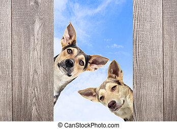 pies, podglądający