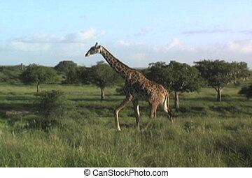 pieszy, żyrafa