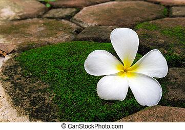 pietra, fiore, verde, plumeria, muschio