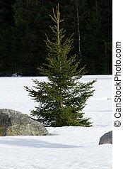 pietre, conifero, nevoso, pianura, nature., -, albero, puro, grande