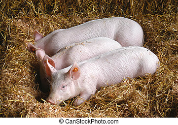 pig 7060 - pigs
