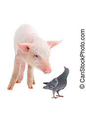 pig and dove