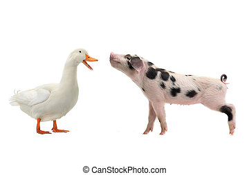 pig and duck