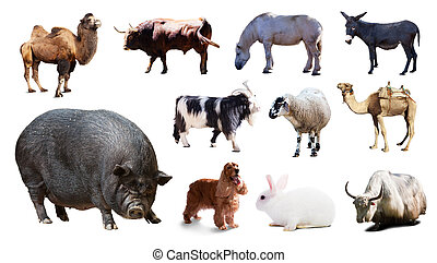 pig and other farm animals. Isolated over white - Black pig...
