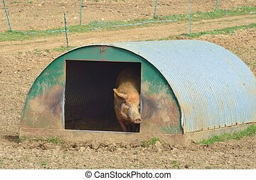 Pig at home in hut
