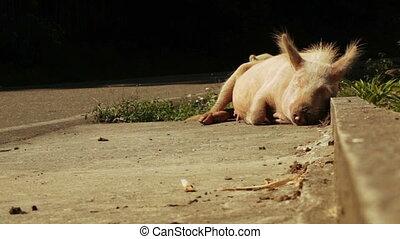 Pig at mountain road
