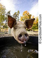 Pig at Water Bowl - A pig drinking at a watering bowl