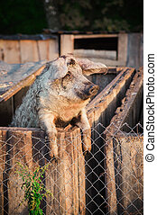 Pig behind a fence