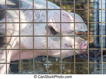 Pig behind a metal fence