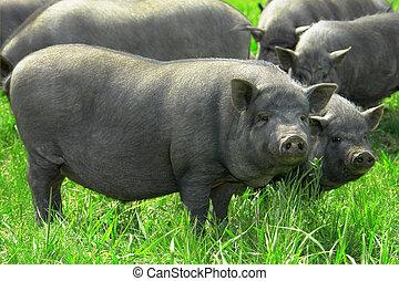 Pig  big - big old pig on a pasture