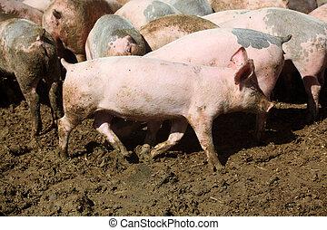 Pig farm view.
