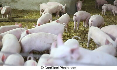 Pig farm. Piglets. Handheld, HD1080 - 30p