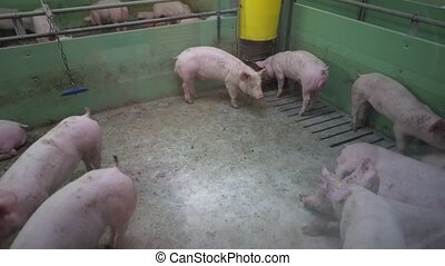 Pig Farm with Many Pigs - Intensively farmed pigs standing...
