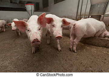 Pig farm - Young pigs on the farm