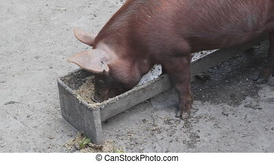 Pig feeding at trough. - A brown pig feeding at a trough.