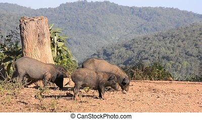 Pig foraging. - Pig foraging natural living in a mountain...