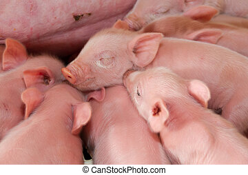 pig hatchery for pig meat consumption in the field