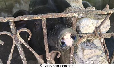 Pig in a cage in a Dominican Farm