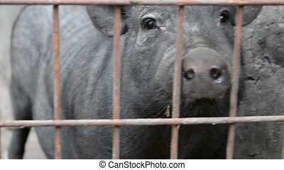 Pig in a cage on the farm - Lonely black pig in a cage on...