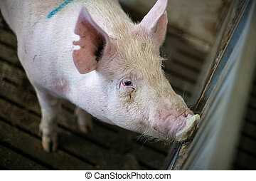 Pig in a dark stable