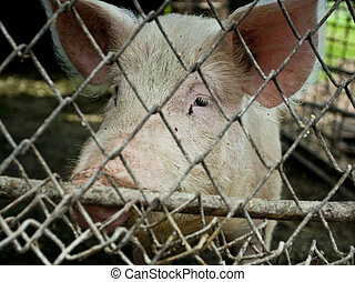 pig in a metal fence