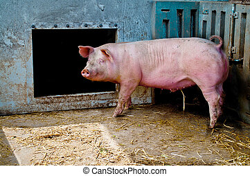Pig in a stable