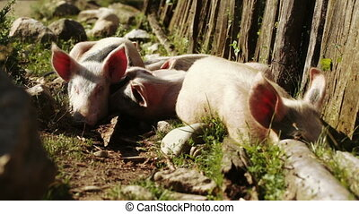 Pig in nature
