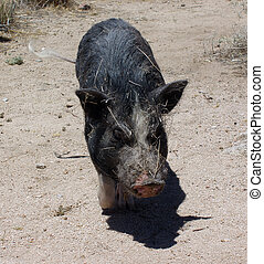 Pig in the desert wags his tail all covered in sticks,...