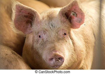 Close up of domestic pig looking at camera in stable