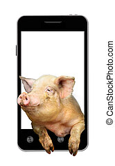 pig looks out from mobile phone