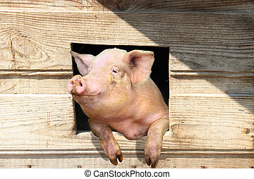 pig looks out from window of shed