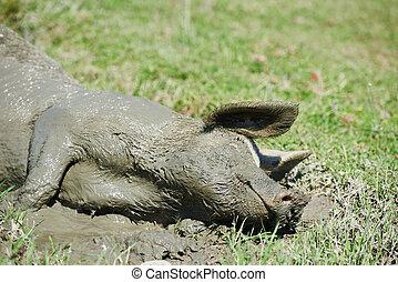 Pig lying in mud