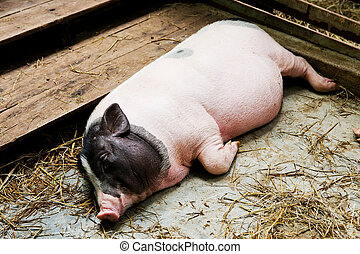 pig lying in the stall.