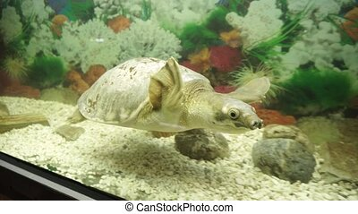 Pig-nosed or pitted-shelled turtlein the aquarirum. - Cute...