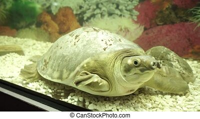 Pig-nosed turtle, pitted-shelled turtle or fly river turtle...