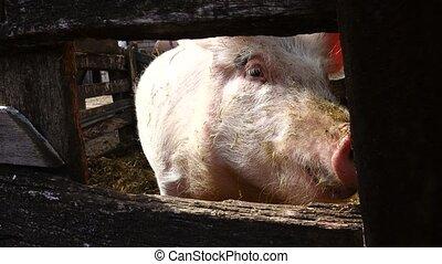 pig on a farm