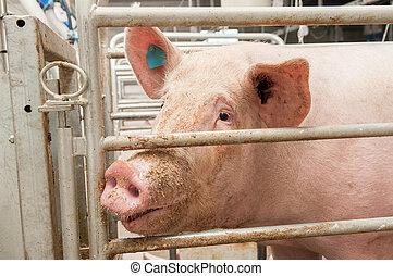 Portrait of a big pig on a farm
