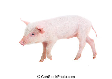 pig on a white background. studio
