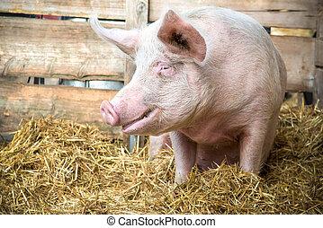 Pig on hay and straw at pig breeding farm