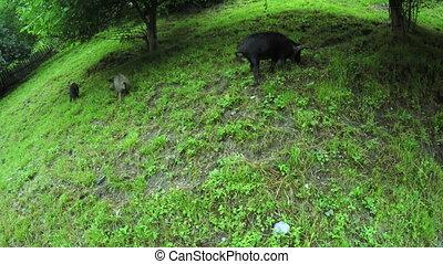 Pig on street summer - On road to Svan village in Georgia...