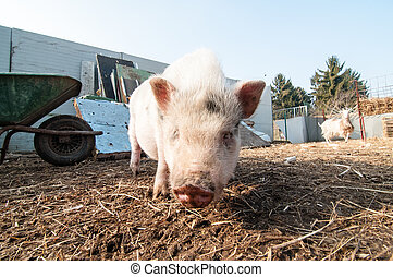 pig on the farm