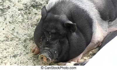 Pig on vacation